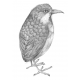 Moustached antpitta (Grallaria alleni) 